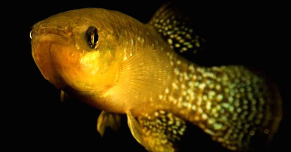 Perierga.gr-Επιστήμονες εντόπισαν το πρώτο ψάρι που μεταλλάχθηκε και κατάφερε να γίνει 8.000 φορές πιο ανθεκτικό στην τοξική μόλυνση