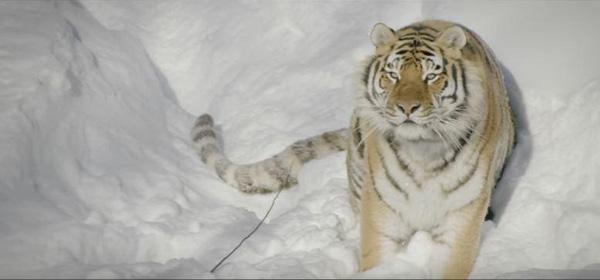 Perierga.gr-Drone καταγράφει τις άγριες τίγρεις της Σιβηρίας σε εντυπωσιακό βίντεο
