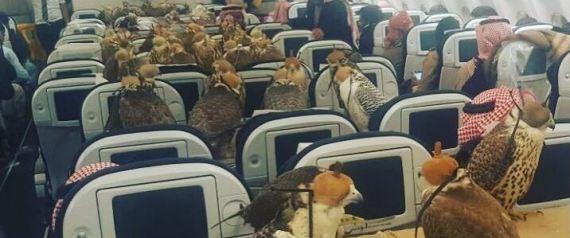 perierga.gr - 80 γεράκια ταξιδεύουν...με αεροπλάνο!