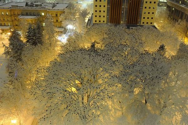 perierga.gr - Κοράκια στο χιόνι!