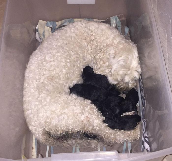 perierga.gr - Δύο λευκά σκυλιά έφεραν στον κόσμο μαύρα κουτάβια!