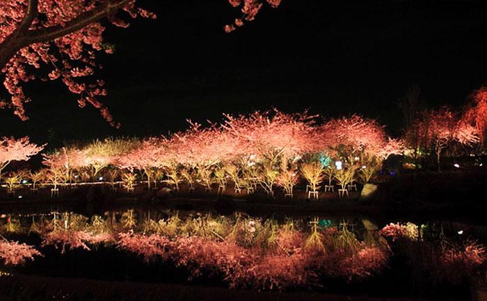 perierga.gr - Άνθισαν νωρίς οι κερασιές σε ιαπωνική πόλη!