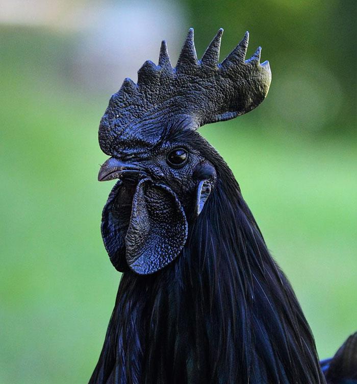 perierga.gr - Σπάνιo κατάμαυρo... κοτόπουλo μέσα έξω!