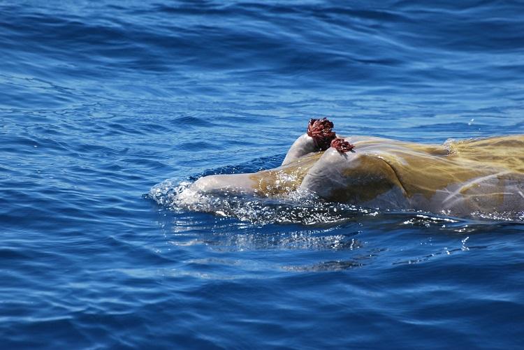 perierga.gr - To πιο σπάνιο είδος φάλαινας καταγράφηκε για πρώτη φορά σε βίντεο!