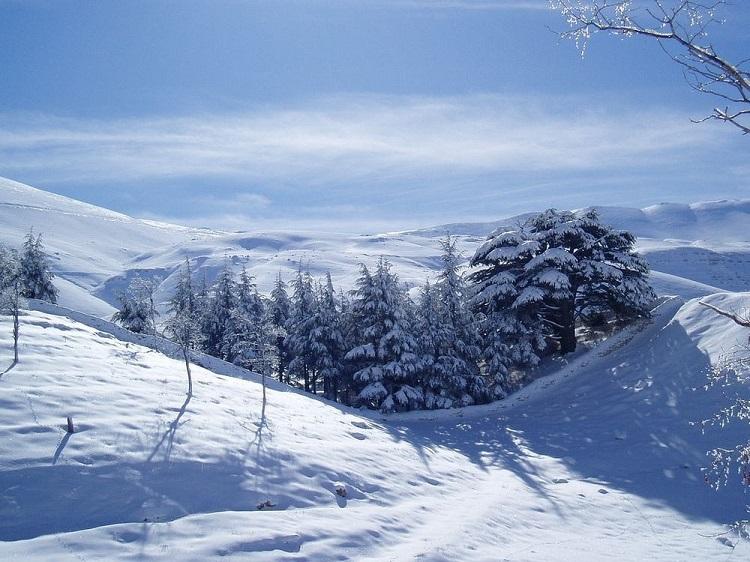 perierga.gr - Ο κέδρος του Λιβάνου, ένα από τα πιο μεγαλοπρεπή δέντρα!