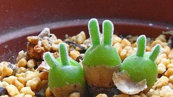 perierga.gr - Παράξενο φυτό μοιάζει με... αυτιά λαγού!