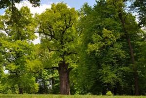 """perierga.gr - Πολωνική δρυς 650 ετών το """"Ευρωπαϊκό Δέντρο της Χρονιάς"""""""
