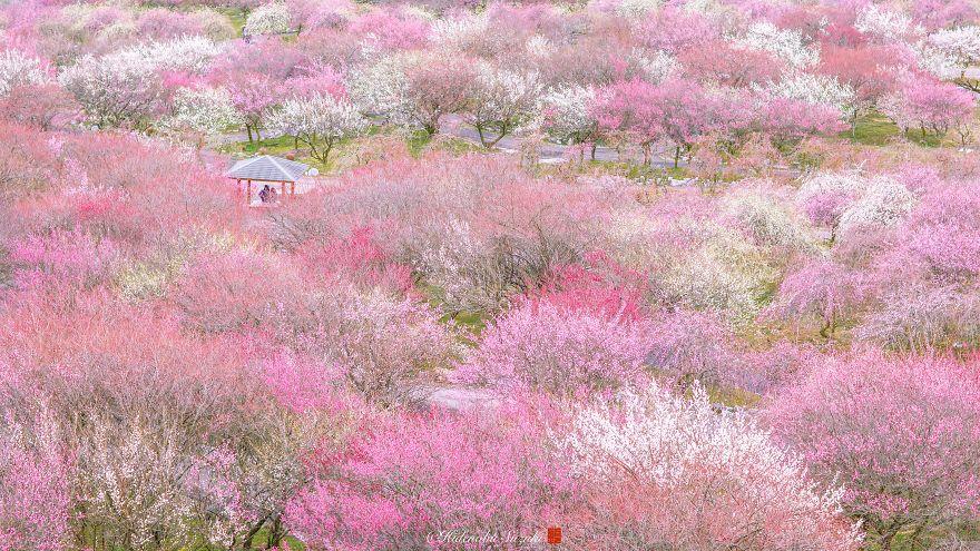 perierga.gr - Πανέμορφες ανθισμένες δαμασκηνιές στην Ιαπωνία!