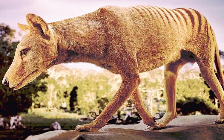 perierga.gr - Η τίγρης της Τασμανίας ζει και βασιλεύει!
