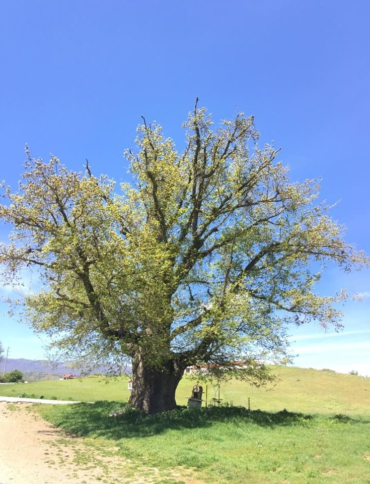 perierga.gr - Στη Δεσκάτη Γρεβενών η αρχαιότερη βελανιδιά της Ευρώπης