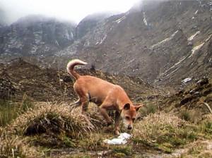 (ξανα)Βρέθηκε ο αρχαιότερος και πιο σπάνιος σκύλος στον κόσμο!