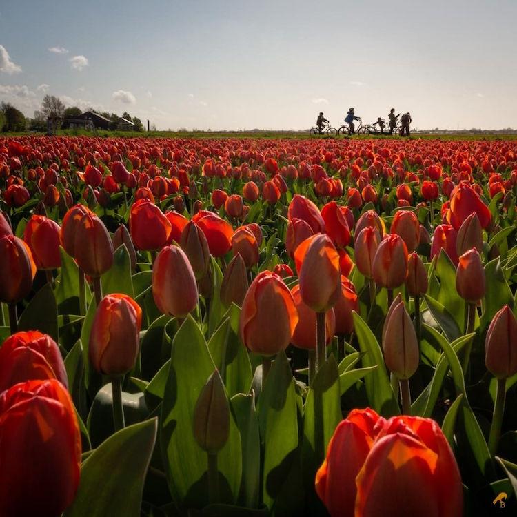 Perierga.gr - Οι ολλανδικές τουλίπες σε ένα πολύχρωμο μωσαϊκό!