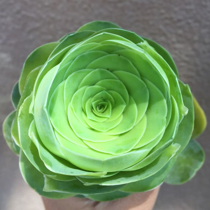 perierga.gr - Παχύφυτα που μοιάζουν με τριαντάφυλλα!
