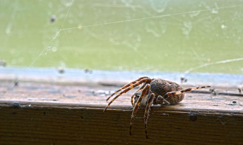 perierga.gr - 6 στοιχεία για την παρεξηγημένη αράχνη του σπιτιού!