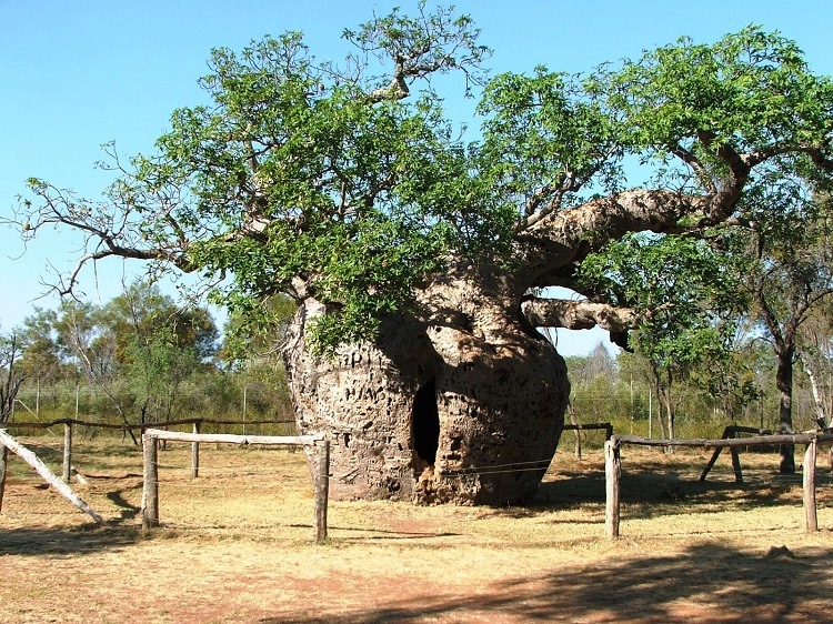 perierga.gr - Περίεργο δέντρο... φυλακή και η ιστορία του!