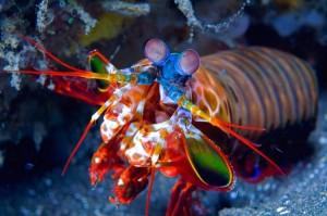 Γαρίδα mantis, ο φόβος και ο τρόμος των βυθών!