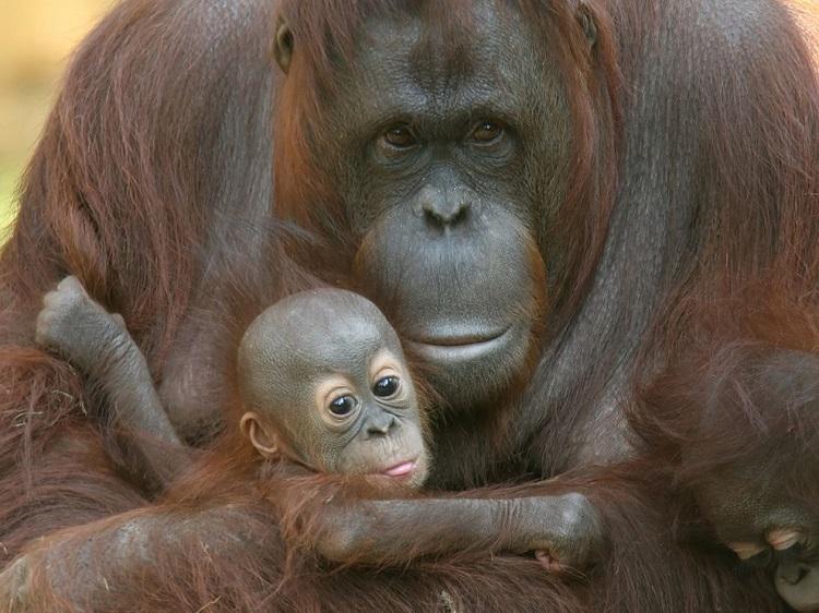 perierga.gr - Οι μαμάδες ουρακοτάγκοι θηλάζουν περισσότερο από τα πρωτεύοντα θηλαστικά