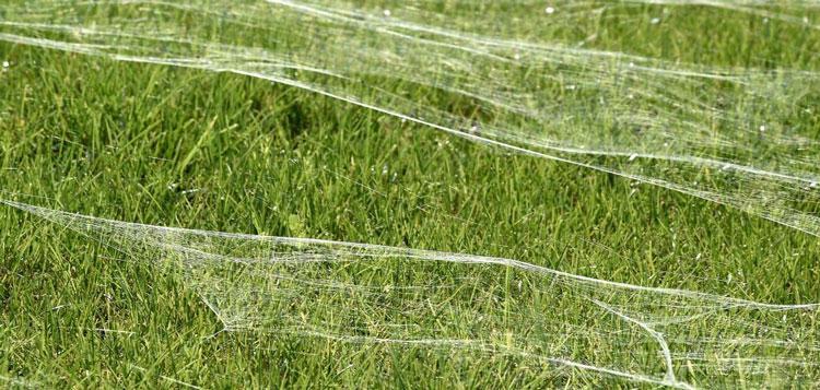 perierga.gr - Αράχνες κάλυψαν ολόκληρο λιβάδι!