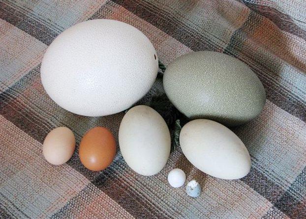 perierga.gr - Γιατί τα αυγά έχουν τόσο μεγάλη ποικιλία σχημάτων;