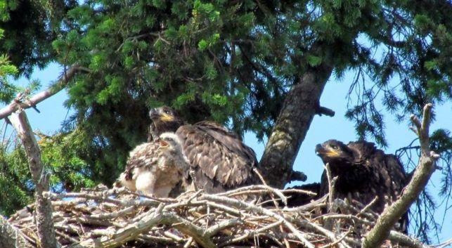 perierga.gr - Ζευγάρι αετών μεγαλώνει ένα... γεράκι!