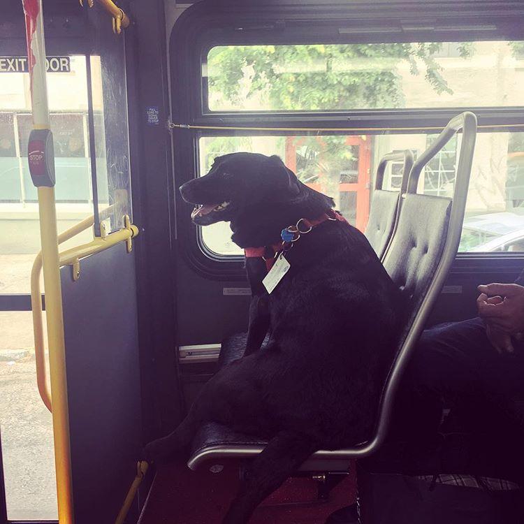 perierga.gr - Σκύλος παίρνει μόνος το λεωφορείο και πηγαίνει στο πάρκο!