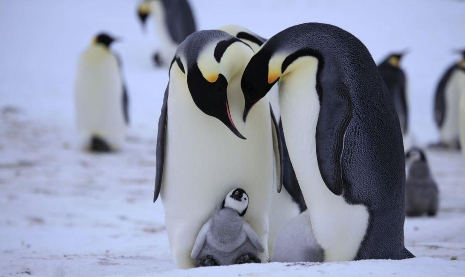 perierga.gr - Οι πιγκουίνοι κάνουν πρόταση γάμου στη σύντροφό τους!