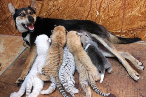 perierga.gr - Σκυλίτσα θηλάζει μαζί με τα κουτάβια της και 4 νεογέννητα τιγράκια