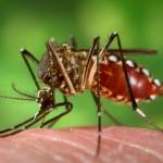 Γιατί η Google απελευθερώνει κουνούπια στην Καλιφόρνια