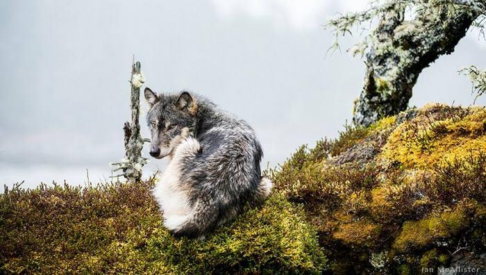 perierga.gr - Οι σπάνιοι λύκοι που κολυμπούν και τρώνε ψάρια!