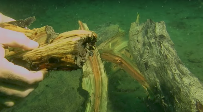 perierga.gr - Ανακαλύφθηκε υποβρύχιο δάσος 50.000 ετών!