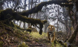 """Σπάνια τίγρη """"πιάστηκε"""" στην κάμερα!"""