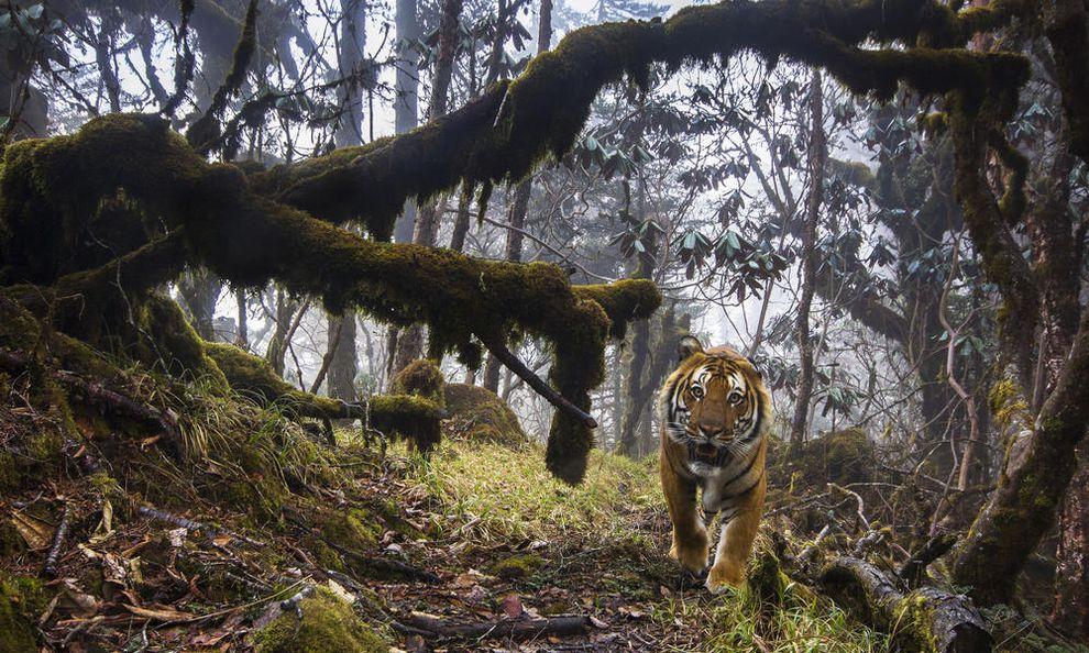 """perierga.gr - Σπάνια τίγρης """"πιάστηκε"""" στην κάμερα!"""