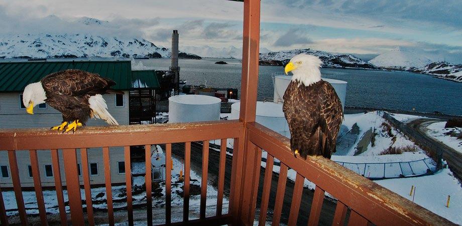 perierga.gr - Unalaska: Η πόλη που οι αετοί είναι τόσο συνηθισμένοι όσο τα περιστέρια!