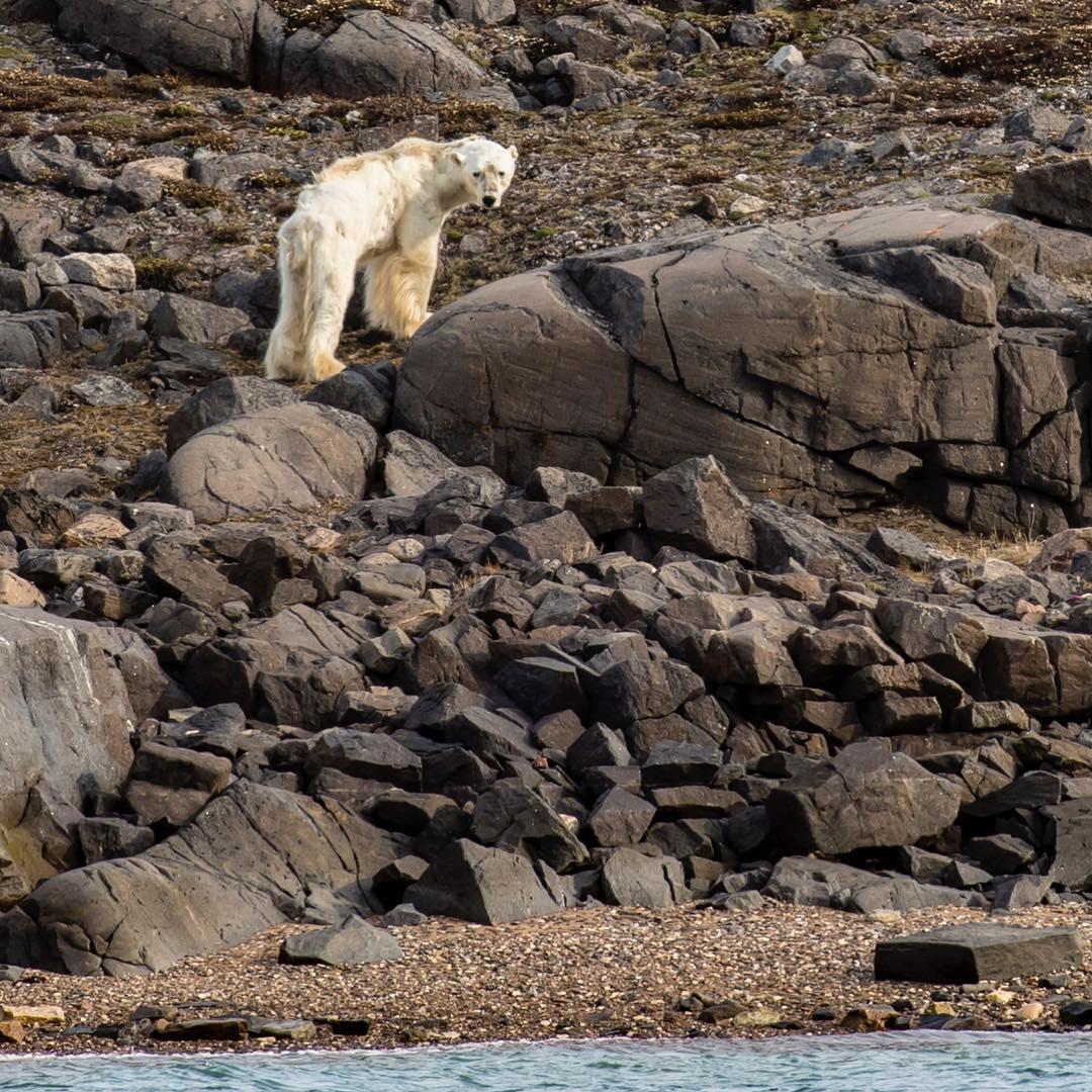 perierga.gr - Σοκαριστική εικόνα του National Geographic με αρκούδα που λιμοκτονεί!