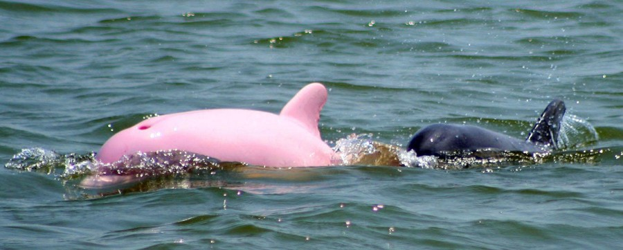 perierga.gr - Σπάνιο ροζ δελφίνι κολυμπά στα νερά της Λουιζιάνας