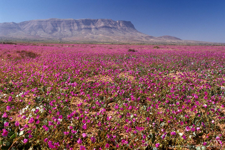 Το ξηρότερο μέρος του πλανήτη γέμισε λουλούδια!