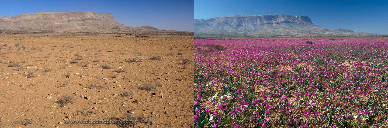 perierga.gr - Η έρημος άνθισε ξανά!