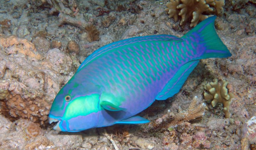 perierga.gr - Η λευκή άμμος των εξωτικών ακτών είναι δημιούργημα ψαριών!
