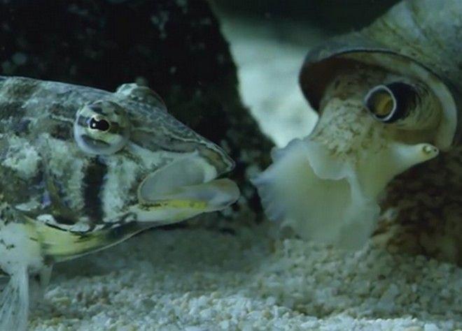 περιεργα.γρ - Σαλιγκάρι της θάλασσας... καταβροχθίζει ψάρι!
