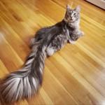 """Η γάτα με την πιο """"αφράτη"""" & μακριά ουρά σύμφωνα με το Γκίνες!"""