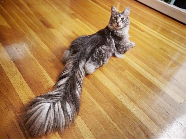 "perierga.gr - Η γάτα με την πιο ""αφράτη"" & μακριά ουρά σύμφωνα με το Γκίνες!"