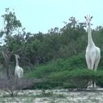 Σπάνιες λευκές καμηλοπαρδάλεις αποτυπώνονται για πρώτη φορά σε βίντεο