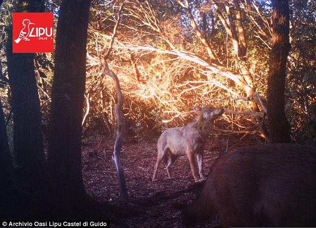 perierga.gr - Εμφανίστηκαν λύκοι στα περίχωρα της Ρώμης μετά από 100 χρόνια!