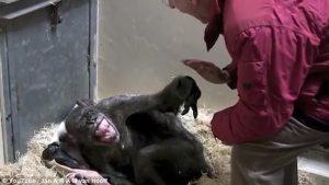 Ετοιμοθάνατος χιμπατζής «ξυπνάει» βλέποντας τον παλιό του φίλο