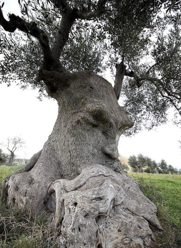 perierga.gr - Παράξενα σχήματα δέντρων