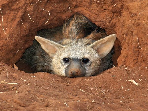 perierga.gr - Ξέρετε αυτό το αξιαγάπητο... aardwolf;