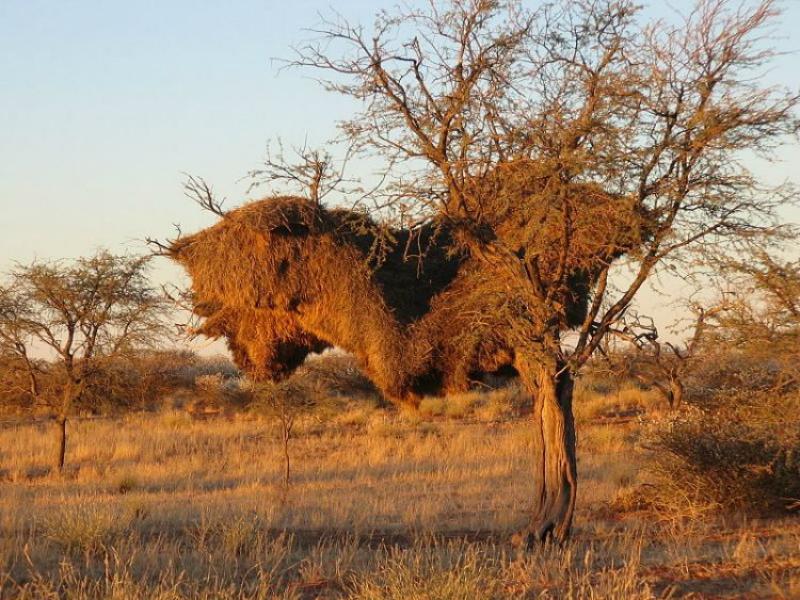 Perierga.gr-Μικροσκοπικά πουλιά χτίζουν γιγάντιες φωλιές που μπορούν να ρίξουν ένα δέντρο