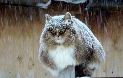 Perierga.gr-Οι χνουδωτές και παχιές γάτες της Σιβηρίας