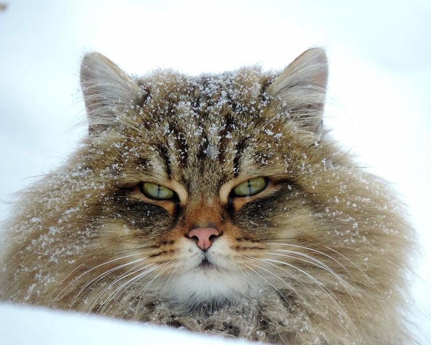 Perierga.gr - Οι χνουδωτές και παχιές γάτες της Σιβηρίας