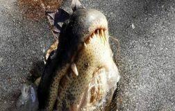 Perierga.gr - Ο παράξενος τρόπος που αντιμετωπίζουν οι αλιγάτορες το πολικό ψύχος